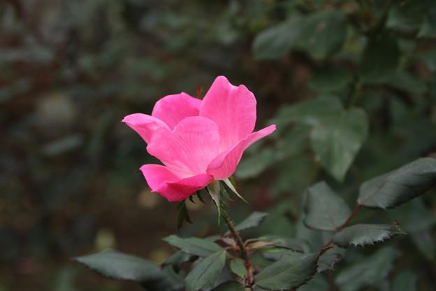 薔薇_公園 D7213