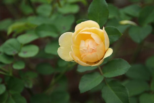 薔薇_公園 D7216