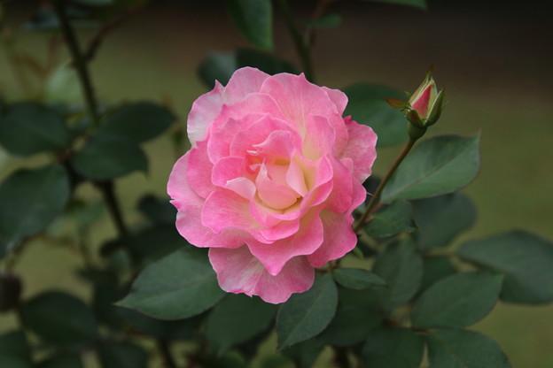 薔薇_公園 D7222
