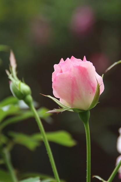 薔薇_公園 D7223