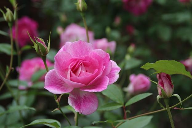 薔薇_公園 D7221
