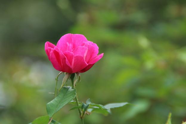 バラ_植物園 D7158
