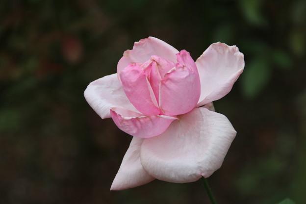 バラ_植物園 D7159