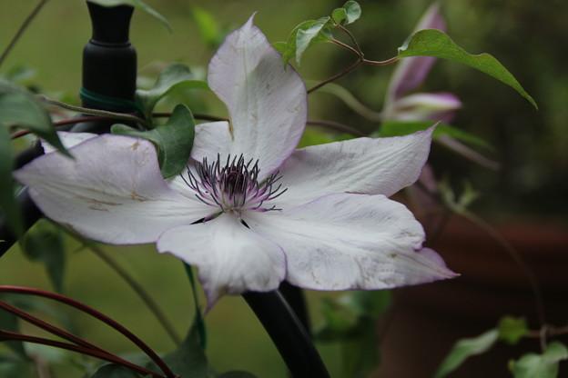 クレマチス_植物園 D7167