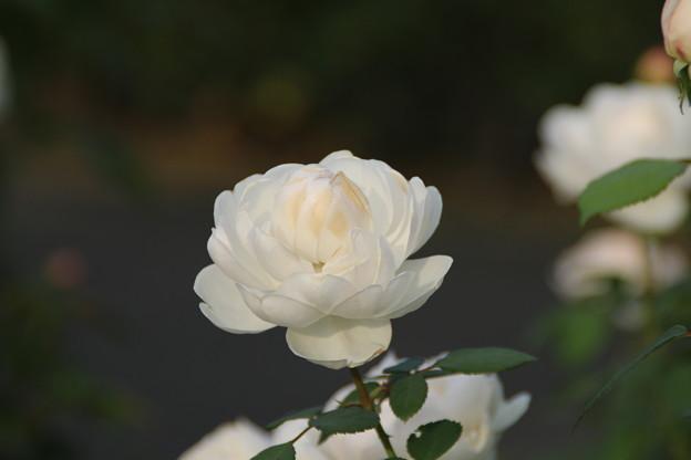 薔薇_前橋 D7227
