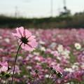 Photos: コスモス_公園 D7329