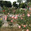 敷島ばら園_前橋 D7263