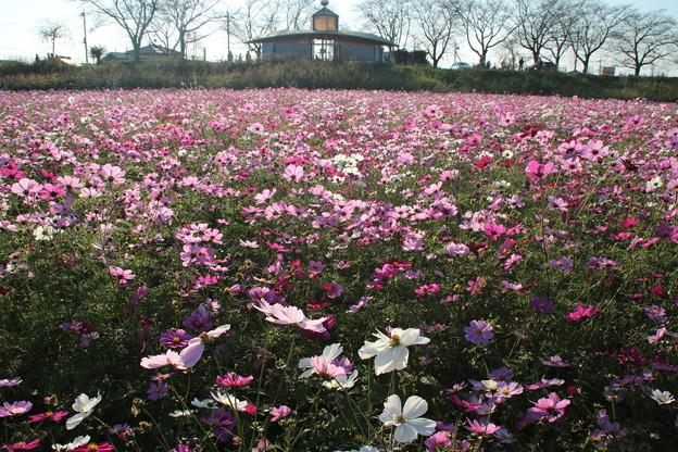 Photos: コスモス_公園 D7333
