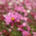 Photos: コスモス_公園 D7332