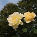 薔薇_前橋 D7266