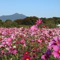 Photos: コスモス_公園 D7335
