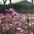 Photos: コスモス_公園 D7336