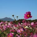 Photos: コスモス_公園 D7339
