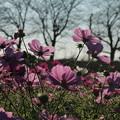 Photos: コスモス_公園 D7338