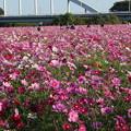 Photos: コスモス_公園 D7340