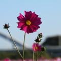 Photos: コスモス_公園 D7341