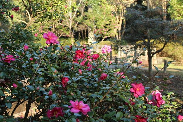 山茶花_公園 D7382