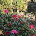 Photos: 山茶花_公園 D7382