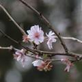 十月桜_散歩道 D7404