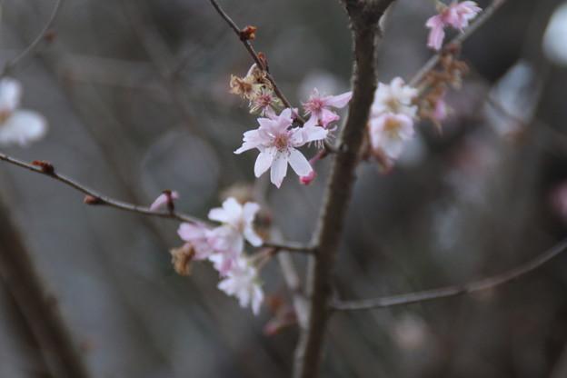 十月桜_散歩道 D7405
