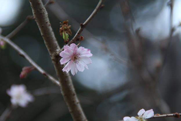 十月桜_散歩道 D7406