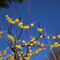 Photos: ロウバイ_公園 D7690