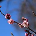 Photos: 紅梅_公園 D7708