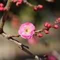 Photos: 紅梅_公園 D7728