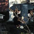 Photos: 白梅_散歩道 F4341