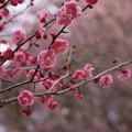 Photos: 紅梅_公園 D7778