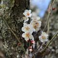 Photos: 白梅_公園 D7757