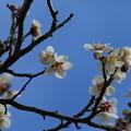 Photos: 白梅_公園 D7761