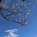 Photos: 白梅_公園 D7759