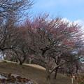 Photos: 紅梅_公園 D7790