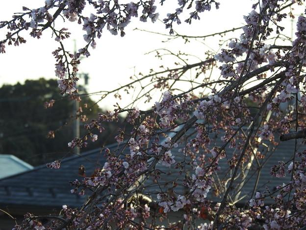 DSCN4660桜