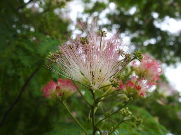 写真: DSCN6134ネムの花