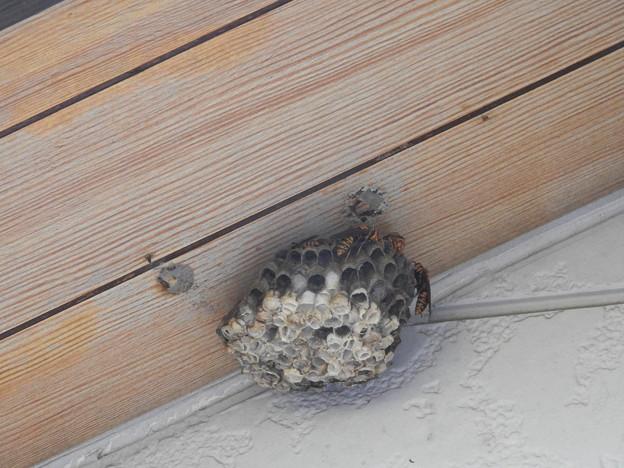 DSCN6567アシナガバチの巣