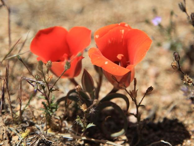 砂漠マリポーサリリー (2)
