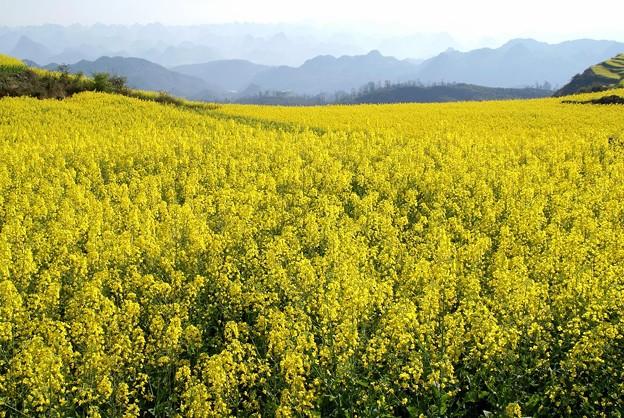 菜の花と十万大山