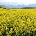 Photos: 菜の花と十万大山