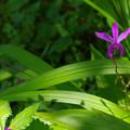 この花の名前はシラン