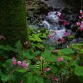 谷の秋海棠