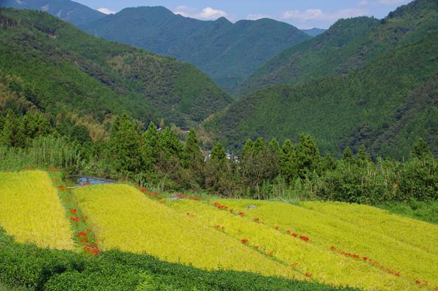 Photos: 黄色い段々畑
