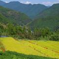 黄色い段々畑