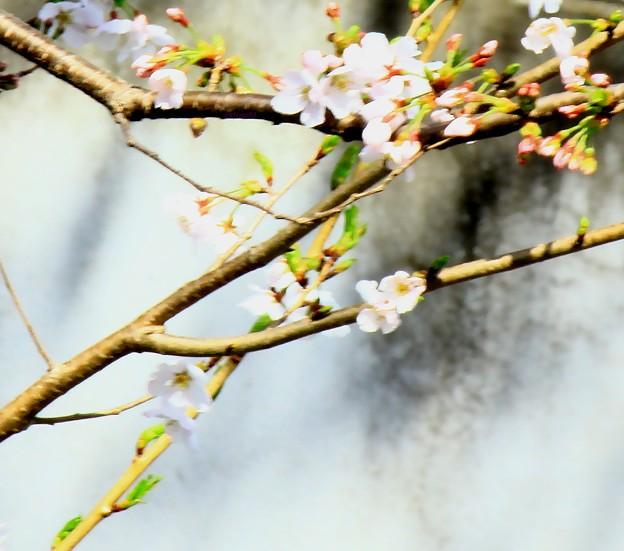 桜おぼろに春朧