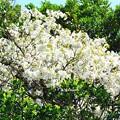 写真: 桜景