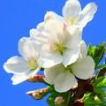 写真: 山桜を撮る