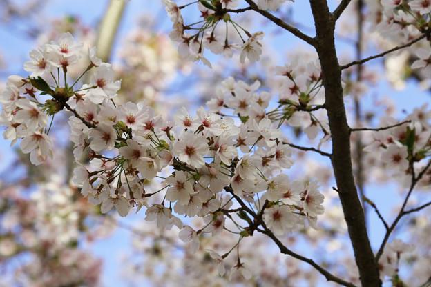 真ん中が濃い桜ばかり~
