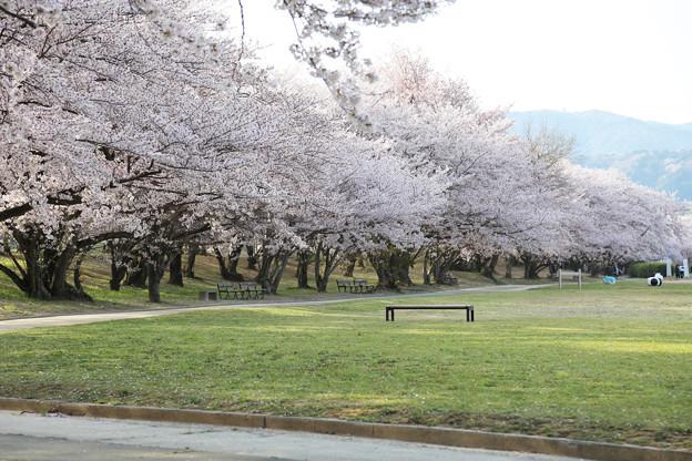 桜とベンチ 反対側