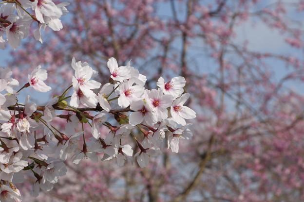 濃い桜をバックに